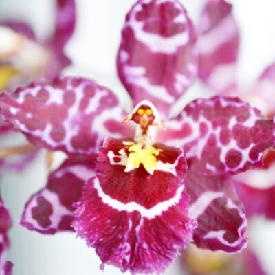 Oncidium no id